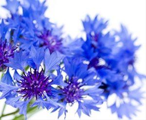 corn flower blue